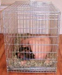 Human Puppy in a cage